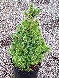 Picea glauca conica - Zuckerhutfichte, gelieferte Topfgröße 15 cm, Höhe.40 cm