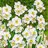 Narzissen zwiebeln blumenzwiebeln Pflanzen Garten winterhart mehrjährig-15zwiebeln,D