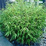 Bambus Fargesia Rufa | 4 Stück | Topf Ø 15 cm Lieferhöhe: 25-30cm | Bambus - Immergrün | Winterharter Schirmbambus für Garten Terrasse und Balkon