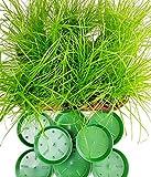4 Stück Katzengras Cyperus alternifolius Zumula - zur Verdauungsunterstützung von Katzen - Futter Pflanze A1 Q