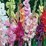 50x Gladiolus | Gladiolen Blumenzwiebeln Mischung | Gemischte Farben | Blumenzwiebeln für Garten und Balkon Ø 14