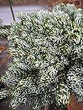 Baumschule Pflanzenvielfalt Abies koreana Kohouts Icebreaker - Koreatanne - Eissilberne Zwerg-Lockentanne Kohounts Icebreaker - Hochstamm