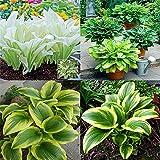 Funkien pflanze winterhart/Lebende Pflanzen in der großen Parkdekoration, starke Vitalität, kleine Gesundheitsexperten, Hochzeitstopfpflanzen-5Rhizome