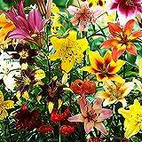 50x Lilien zwiebeln mix Winterharte pflanzen für garten Lilium pflanze Mehrjährige pflanzen Gartenpflanzen Blumen zum pflanzen