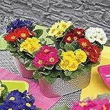 Primel Samen Weltberühmte Blumen Wunderblume Mehrjährige Blume Gemischte Blumen-500 Pcs