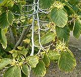 Virginische Zaubernuss Hamamelis virginiana Pflanze 45-50cm Zauberstrauch