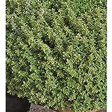 Zitronenthymian 'Mystic Lemon' - Kräuterpflanze, winterhart, im Topf 11 cm, in Gärtnerqualität von Blumen Eber - 13-14 cm