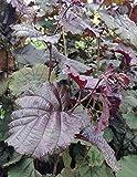 Haselnuss Bluthasel, Busch im 4 Liter Topf, Zierstrauch, Höhe 50 - 80 cm