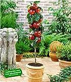 BALDUR Garten Befruchtersorte Apfel 'Gala', 1 Pflanze Säulenapfel Säulenobst w