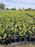 Kirschlorbeer 'Novita' 20-40 cm - 1 Pflanze - Prunus laurocerasus 'Novita' - Topfgewachsen