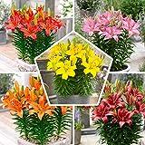15x Matrix Garten Lilien Zwiebeln Kollektion, Mix aus 5 Sorten, 3 von jeder Farbe, Mehrjährig und Winterhart Blumenzwiebeln Mix (kein Samen), Mischung aus Holland für Garten und Top