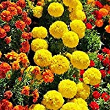 Keshang viele Blüten,Chrysanthemum Seed Marigold seed-60PCS_Marigold Seed,Zum Pflanzen im Garten