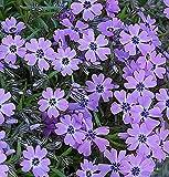 Teppich Phlox Purple Beauty - Phlox sub