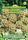 Scabiosa stellata, Gartenscabiose, Sternkugel einjährig N.L.C