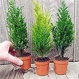 TENGGO Egrow 50 STÜCKE Italienische Zypresse Baum Samen Cupressus Sempervirens Hausgarten Bonsai Pflanzen Samen