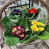 Primel Samen Weltberühmte Blumen Wunderblume Aromatischer Garten Zierlich Süß-100 Pcs