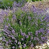 ca. 700 Samen Echter Lavendel Duftpflanze - Lavandula angustifolia, kann 20 bis 30 Jahre alt w