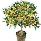 Osmanthus fragrans Baumsamen, goldener Osmanthus vier Jahreszeiten Osmanthus, acht Lorbeer Agarwood Zimt 300 Korn