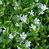 Vinca minor alba immergrüner Bodendecker winterhart 5-7 Triebe pro Topf weiß (50 Stück)