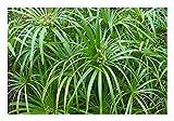 Wunderschönes Freiland-Zyperngras'Cyperus glaber'