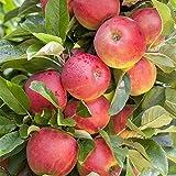 Apfel Baum 'Elstar' Malus domestica 150-200cm im 7,5L Topf gewachsen w