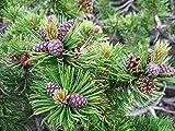Bergkiefer Pinus mugo pumilio Pflanze 5-10cm Latschenkiefer Zwergkiefer R