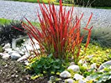 10 x Imperata cylindrica 'Red Baron' 1 Liter(Ziergras/Gräser) JapanischesBlutgras ab 3,19 € pro Stück