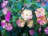 Sperli Blumensamen Wunderblume Broken Colours Mix, grün