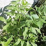 ca. 200 Samen Liebstöckel, Maggikraut - Levisticum officinale, winterhart bis -25 G