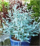 BALDUR Garten Winterharter Eukalyptus 'Azura' Blaugummibaum, 1 Pflanze Eucalyptus gunni echter Eukalyp