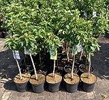 1 Apfelbaum' Gloster' im Topf 100cm Terrassenobst obstbaum Apfel Baum Malus domestica Obst + Dünger für die Jahresdüngung