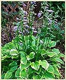 Funkien pflanze winterhart,eine ideale Pflanze zum Begrünen und Verschönern und Reinigen der Umwelt, Verpackung gemischter Sorten-20Rhizome