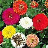 Oce180anYLVUK Zinnia-Samen, 1 Beutel Mit Blühendem Zinnia-Samen Leicht Zu Züchten Auffälliger Blumensamen Für Den Garten Zinnia Seeds