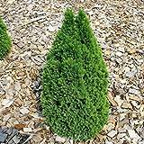 Zwerg Zuckerhutfichte Laurin 50-60cm - Picea glauca
