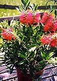 TROPICA - Australischer Lampenputzer (Callistemon citrinus) - 400 S