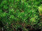 Kugel-Kiefer Pinus mugo 'Mops' Pflanze 5-10cm veredelt Zwerg-Kiefer Bergk