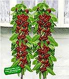 BALDUR Garten Säulen-Kirschen 'Sylvia® & Helena®', 2 Pflanzen Säulenobst, Kirschbaum w