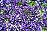 Blaukissen Blau 120 Samen, Aubrieta B