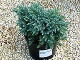 Juniperus squamata `Blue Star` - Blauer Zwerg-Wachholder - Pflanze - Zwergkonifere langsam wachsend im 17 cm Topf