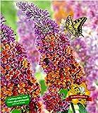 BALDUR Garten Buddleia Sommerflieder Flower Power, 1 Pflanze Buddleja Hybride, Schmetterlingsflieder Schmetterlingsstrauch Zierstrauch