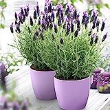 3x Lavandula stoechas Anouk   Lavendel Pflanze   Winterharte Stauden   Höhe 20-30cm   Topf-Ø12