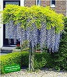 BALDUR Garten Blauregen auf Stamm winterhartes Stämmchen, 1 Pflanze Wisteria sinensis Glycinie Z