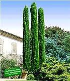 BALDUR Garten Echte Toskana 'Säulen-Zypressen', 1 Pflanze, Cupressus sempervirens pyramidalis Mittelmeer-Zypresse w