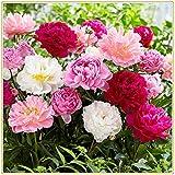 Pfingstrosenpflanze, Schöne orientalische Mischpfingstrosenpflanze, Zierstrauch, starke Frühlingspflanze-2Knolle