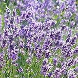 2x Lavendula angustifolia'Hidcote' | 2er Set Echter Lavendel | Lavendel Pflanze Winterhart | Höhe 25-30cm | Pot Ø 11