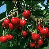 Obstbaum Kirsche Kirschbaum Busch Form Kirsche rot süß Regina - hochwertige Baumschul Qualität direkt vom Fachhändler …