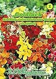 Cheiranthus cheiri, Goldlack, Mischung einfachblühender Sorten N.L.C