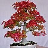30 Stück/Beutel Ahornsamen Sind Mehrjährige Mehrzweck-Rasen-Zierpflanzen rot Ahornbaumsamen
