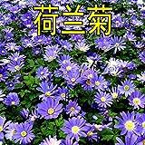 HTHJA Balkonkasten Samen,Blühende mehrjährige holländische Chrysanthemensamen, Balkongartenblumensamen 500g Blau,Samen für Balkon/G