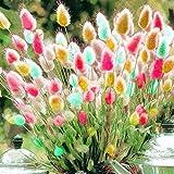 100 Stück Lagurus Ovatus Bunte Kaninchenschwanz Gras Garten Zier Bonsai Samen rot
